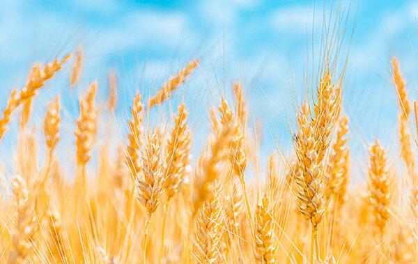 有關小麥胚芽與燕麥的區別